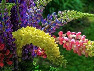 Собирать пазл Bright bouquet of lupines онлайн