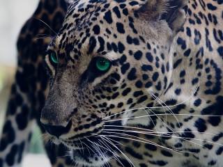 Собирать пазл Green-eyed leopard онлайн